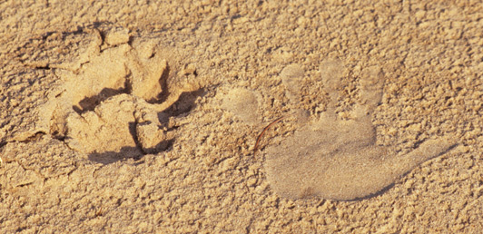On a Zambia walking safari, I pressed my hand in the sand next to a lion paw print.