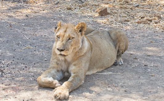 In Zambia, safari vehicles allow guests to get very close to wildlife like this lion.