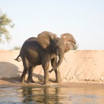 Zambia safari: Elephants swim out to islands in the Lower Zambezi to feasr on soft grasses.