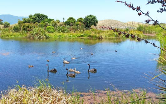 Majestic water fowl and native plants thrive in the Waikanae Estuary.