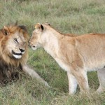 Tip for planning a Botswana trip: try to be there during lion mating season.