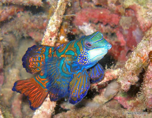 An amorous Mandarin fish waiting for suitors at dusk in Lembeh Strait. Photo credit Elaine J. Masters.