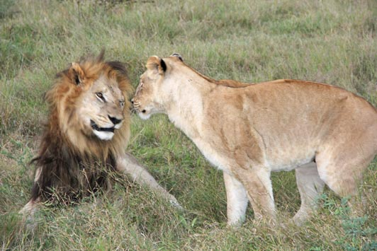 Ask Patrick at Ashworth Africa to tell you about lion mating season.