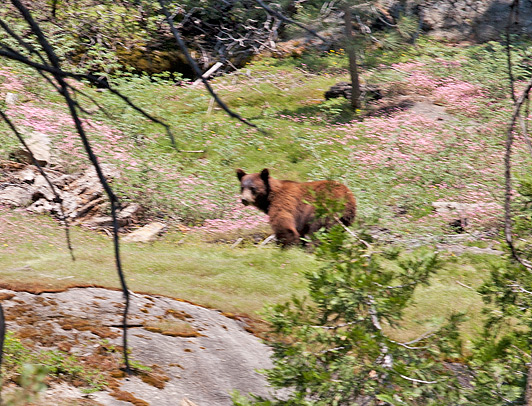 US National Parks - Black bears, which are often brown, roam through Sequoia National Park.