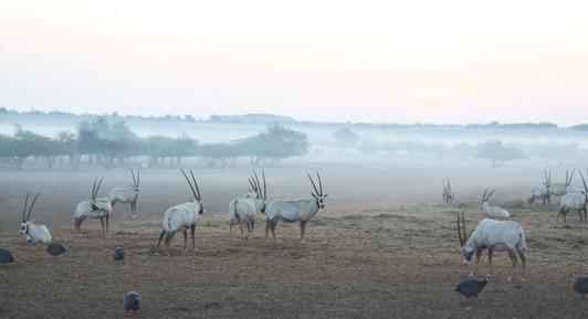 Early morning mist on the Arabian Wildlife Park, Sir Bani Yas Island, Abu Dhabi.
