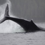King Pacific Lodge: Whales in the Wilderness