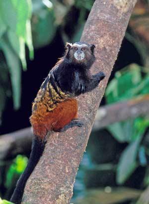 Andean Saddleback Tamarin, Manu National Park. Credit, Beto Santillan.