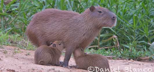 Manu National Park, Capybarra nursing. Photo credit Daniel Blanco.