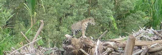 Jaguar, Manu National Park. Photo credit, Diane Barnes, M.D.