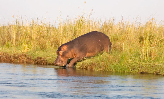 Hippos regularly cross the Zambezi River, which flows between Zambia and neighboring Zimbabwe.