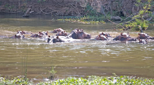 The hippo population in Zambia's Lower Zambezi River is about 70 per kilometer.