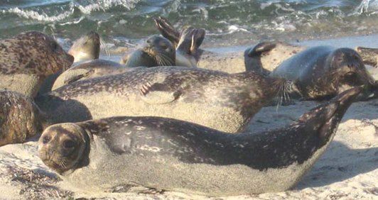 The seal colony at the Children's Pool is just a short walk from Scripps Inn.