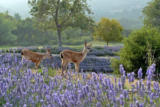 Carmel Valley's natural landscape includes native wildlife and beautiful views.