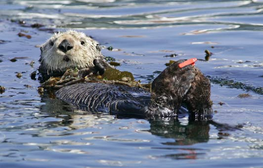 Monterey Bay Aquarium monitors marine life in the bay. Credit Randy Wilder