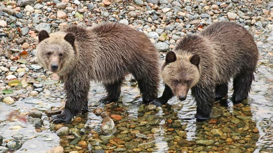 Two cuddly grizzly cubs waited ashore while their mama fished nearby.