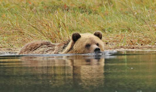 This young grizzly walked along the shore before deciding to swim across the estuary.