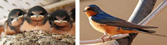 Barn swallows darting around the lodge feeding their babies provided endless entertainment.