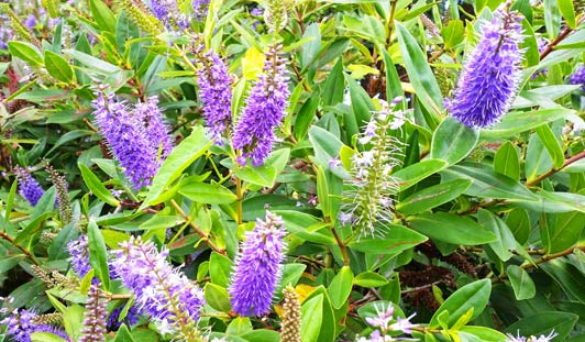Hebes, which are native to New Zealand, bloom in profusion along the Waikanae Estuary.