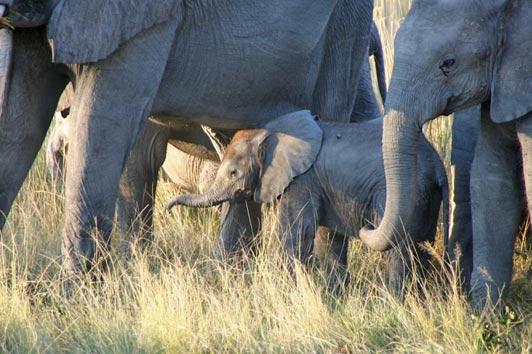 elephants-Botswana-edited-for-ALT