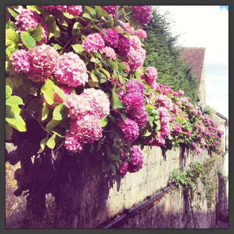 Hydrangeas seem to grow bigger and brighter in Normandy. Photo credit Doug Hamilton.
