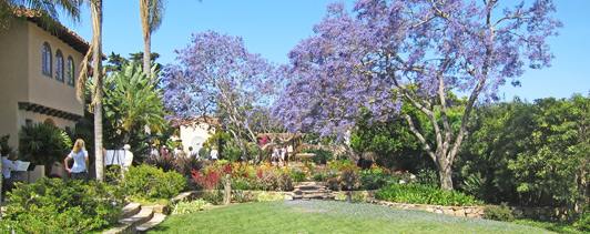 Jacarandas are the official tree of the San Diego and bloom throughout the city.