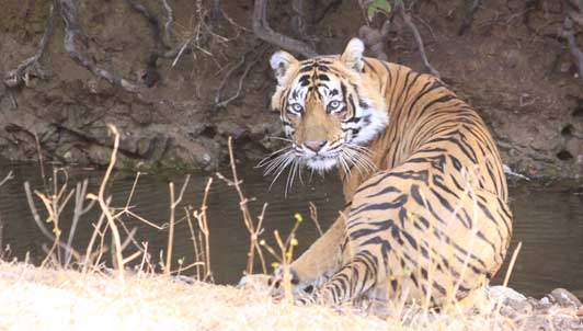 There's no guarantee that guest will see tigers in Rathambore National Park, but we were lucky!
